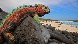 Iguaani rannalla