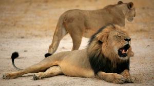 Lejonet Cecil dödes av tjuvskytten Walter James Palmer.