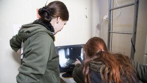 Det sibiriska tigerparet på Högholmen har fått trillingar, personalen kan titta på dem via en webcam