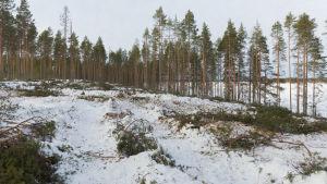 Ett kalt område med spår av skogsmaskiner på Huuskonsaari.