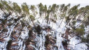 Avverkade träd ligger i högar på Huuskonsaari.
