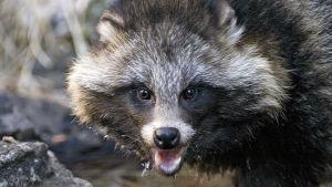 Suomen luonnossa on tulokaslajeja, kuten valkohäntäpeura, minkki, supikoira, valkoposkihanhi ja villikani joiden sopeutuminen maahamme ei aina ole ongelmatonta.