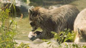 En tvättbjörn får fryst mat på Högholmen.