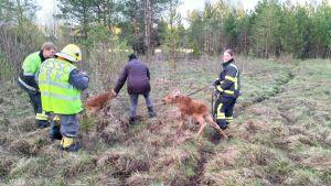 Wessö FBK räddar två älgkalvar på Vessö i Borgå