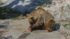 En av björnarna på Högholmen avnjuter en fryst köttklimp.