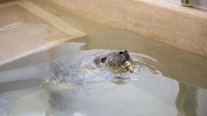 En nos sticker upp ovanför vattenytan och i munnen har sälen en liten abborre.