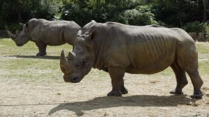 Två noshörningar på en gräsmatta på Thoiry zoo nära Paris år 2002.
