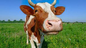 Lehmä niityllä.