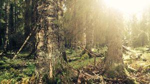 auringonsäteet paistaa metsän läpi
