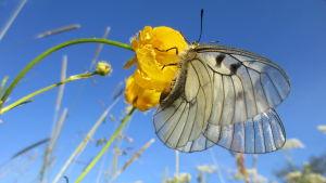 Mnemosynefjärilen sitter på en gul blomma.