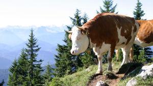 Kor på bete i Alperna