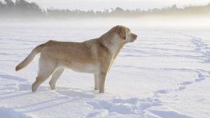 Koira lumessa