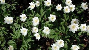Vitsippor i blom