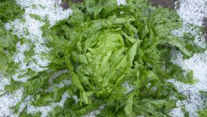 Grön sallat ligger i en hög med vitt hagel.