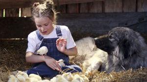 Tyttö, iso koira ja kananpoikia pahnojen päällä navetassa.
