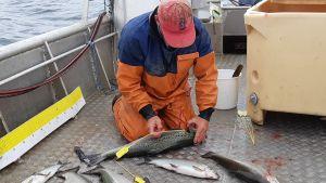 Fiskaren Mikael Lindholm mäter en lax