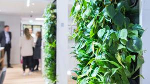 Gröna växter bildar en vägg i ett kontorslandskap.