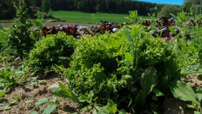 Närbild av salladshuvud som växer på grönsaksodling på friland.