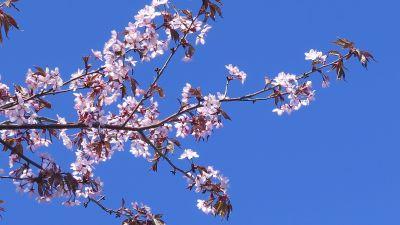 Körsbärsblommor i solen