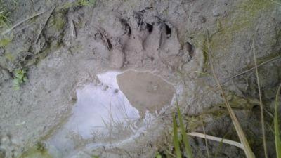 björnbspår i hindersby i lappträsk