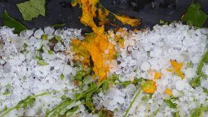 Squasch eller zucchini blommor är krossade av hagel.