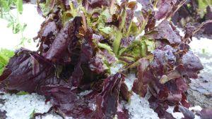 Rödaktig sallat som ligger i en vit hög med hagel.