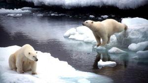 Isbjörn på isflak