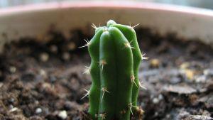En liten kaktus