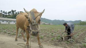 Jordbruk i nordkorea