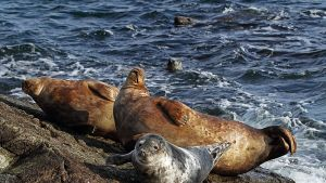 Ut i naturen: Sälen från havet