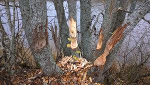 Majavan jyrsimiä puita.