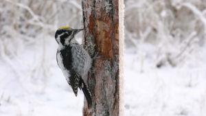 Pohjantikka männynrungolla lumimaisemassa