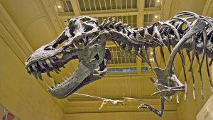Tyrannosaurus rex museossa Washington D.C:ssä.