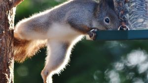 Orava kurottautuu lintulaudalle
