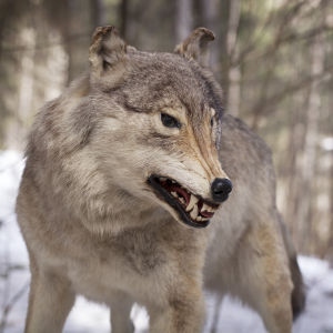 Uppstoppad varg i skogen på vintern