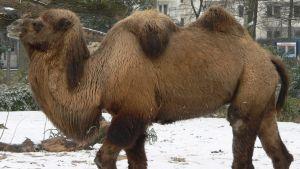 kameli Kölnin eläintarhassa 2005