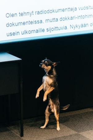 Pikkuinen koira seisoo takajaloillaan.