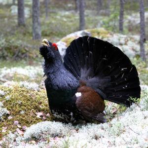Metso sammaleiden ja jäkälien metsässä