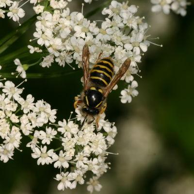 En geting som sitter på en vit blomma.