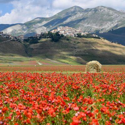 Laaja punaisia kukkia kasvava peltoalue vuoriston juurella Umbriassa, Keski-Italiassa. Taustalla, vuoren nyppylällä pieni kylä.