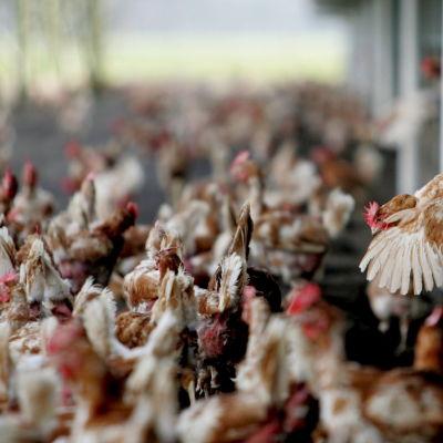 Hönsgård i Nederländerna.