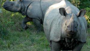 Bild på noshörningar.