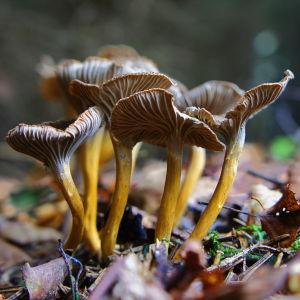Några trattkantareller växer i en klunga bland mossa och löv, fotograferade i närbild.