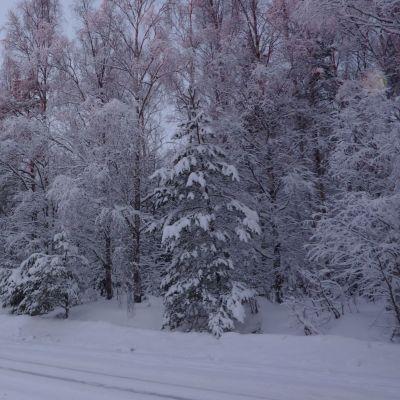 Vintrigt skogsområde i Vasa.