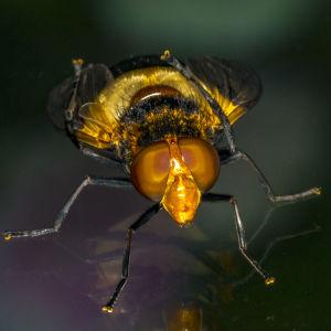 Vem är denna vackra fluga som Tony fotograferat?