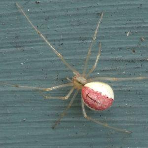Nisse undrar vad den här vackra spindeln heter och hur allmän den är.