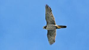 Merikotka, sääksi, muuttohaukka ja kanahaukka ovat Suomen linnuston ylväimpiä lajeja.