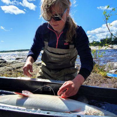 Luonnovarakeskuksen tutkija Riina Huusko laittaa loheen radiolähettimen seurantatutkimusta varten.