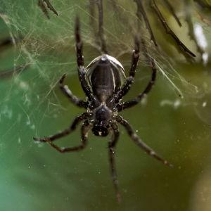 Vesihämähäkki saalistaa.