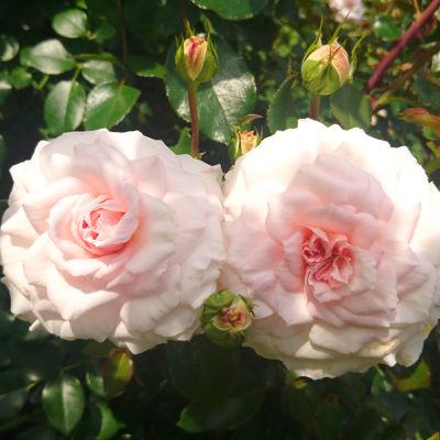 kaksi vaaleanpunaista ruusua